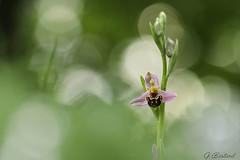 Dans les nuages (gael611) Tags: ophrys orchidée fleur flower blumen nature natur proxy macro
