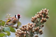 European goldfinch, Carduelis carduelis (Geckoo76) Tags: europeangoldfinch cardueliscarduelis goldfinch finch