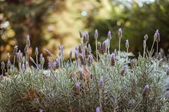 Otoñales 9/24 (Irene Carbonell) Tags: lavandas montevideo flores flowers 35mm nikon