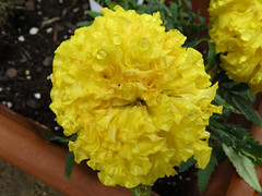 Bright Yellow Marigold. (dccradio) Tags: mountairy mtairy md maryland marigold yellow yellowflower outdoor outdoors outside nature natural flower floral flowers foliage leaf leaves soil gardening flowerbed june summer monday afternoon mondayafternoon goodafternoon canon powershot elph 520hs
