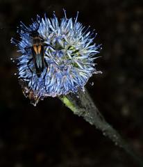 COLEÓPTERO (stavlokratz) Tags: españa castillaleón ávila arenasdesanpedro fincaríocantos ríoarenal sierradegredos insecto insects coleóptero