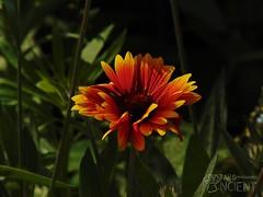 Flower (Wizard Ancient) Tags: flower gardenflower