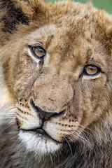 Last photo of Nigel (Tambako the Jaguar) Tags: lion big wild cat male young cub close portrait closeup beautiful pretty gorgeous lionsafaripark johannesburg southafrica nikon d5
