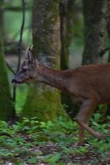 Brocard (highlandserie3) Tags: chevreuil brocard forêt forest wildlife deer nature