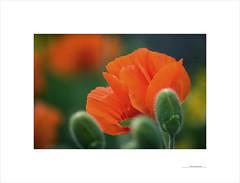 The secret promise (E. Pardo) Tags: primavera frühling spring flores blumen flowers amapolas mohnblumen poppys colores colors farben formas formen forms licht luz light belleza schönheit beauty admont steiermark austria österreich