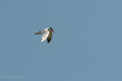 Caspian Tern (Dick Latuchie) Tags: animal birding birds caspiantern flight location minnesota northamerica organisms unitedstates southkoochiching unitedstatesofamerica