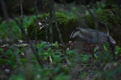 Blaireau (highlandserie3) Tags: nature forêt blaireaux blaireau forest wildlife badger