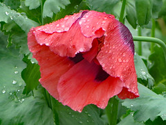 Red Poppy. (dccradio) Tags: mountairy mtairy md maryland flower floral flowers flowergarden outdoor outdoors outside nature plant summer june monday mondayafternoon afternoon goodafternoon canon powershot elph 520hs greenery foliage leaf leaves rainsoaked rain raindrops waterdroplets aftertherain