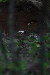 Blaireau (highlandserie3) Tags: blaireau forêt forest badgers badger wildlife nature