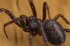The Winter Spider, Pt. 2 - _TNY_7808 (Calle Söderberg) Tags: macro canon canon5dmkii canoneos5dmarkii canon5dmarkii canonmpe65mmf2815x mpe65 arachnida araneae steatoda bipunctata brown black wood fettspindel rabbithutchspider flash twinflash yongnuo yn24ex klotspindel vaxspindel theridiidae cobwebspider f13