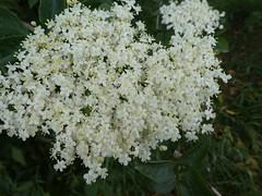 UK - Cambridgeshire - Near Lode - Elderflower (JulesFoto) Tags: uk england cambridgeshire centrallondonoutdoorgroup clog lode fenland fens elderflower