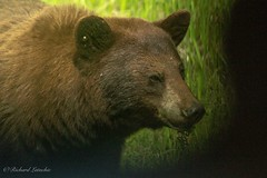 Brown Bear (Dick Latuchie) Tags: animal birding brownbear location mammals minnesota northamerica organisms unitedstates