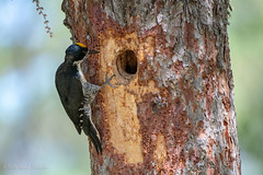 Black-backed Woodpecker (Dick Latuchie) Tags: animal birding birds blackbackedwoodpecker location minnesota northamerica organisms unitedstates cook unitedstatesofamerica