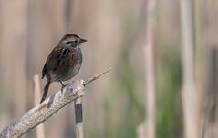 Bruant des marais/Marsh Sparrow -_PM26394 (michel paquin2011) Tags: rouge bruant marais terrebonne ruisseaux feu passereaux