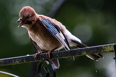 Young Jay 3 (jayneboo) Tags: bird young jay garden home leica cl canon 20mm 28l adapted prime