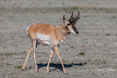 Pronghorn buck out walking