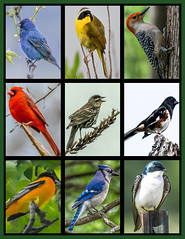 Beth's Birds (Beangrau) Tags: dogwood2019 week24 inspiration photocollage blueindigobunting commonyellowthroatedwarbler redbelliedwoodpecker cardinal songsparrow easterntowhee baltimoreoriole bluejay treeswallow nikon tamronlens colorful birds avian