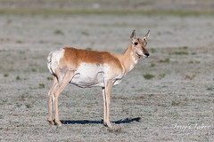 Pretty pronghorn doe out for a walk