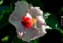Quinta-flower (sonia furtado) Tags: quintaflower flower flor hibisco soniafurtado frenteafrente