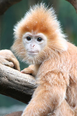 langur monkey (geneward2) Tags: langur monkey primate nature mammal