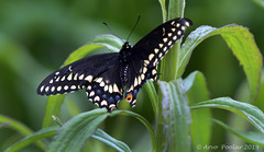 Black Swallowtail (Arvo Poolar) Tags: outdoors ontario canada scarborough arvopoolar nature naturallight natural naturephotography nikond500 butterfly blackswallowtail scarboroughbluffs