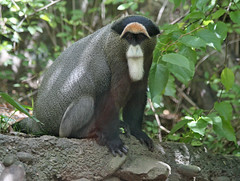 DeBrazza's monkey (geneward2) Tags: debrazza monkey primate mammal bronx zoo