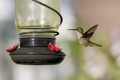 Humminbird (Mike Matney Photography) Tags: 2019 canon eos7d illinois june midwest troy backyard bird birds hummingbird hummingbirds nature outdoors wildlife