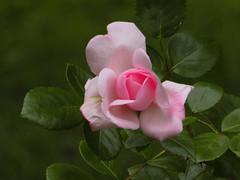 Pink Rose_0959 (smack53) Tags: smack53 roses pinkroses flowers flowergarden garden newjersey westmilford shrubs bushes springtime spring canon powershot sx530hs canonpowershotsx530hs