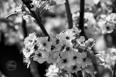 Crab apple blossoms in black and white. Taken on 4-20-19, at the Marriott Tech Center in Denver, Colorado.  ~ ~ ~ ~ ~  #CanonRebelT5 #Canon #Rebel #T5 F/6.3 100mm 1/400s ISO-100 #crabappleblossoms #blackandwhite #MarriottTechCenter #Denver #Colorado #crab (oooshinyphotography) Tags: hashtagcolorado canonrebelt5 naturephotography coloradoshared canon blackandwhite colorado marriotttechcenter bnwcaptures crabappleblossoms denver blackandwhitephotography t5 coloradolove flowers rebel nature techcenter bnw marriott coloradocreative flower coloradophotography viewcolorado crabapple coloradophotographer blossoms bnwphotography appleblossoms coloradocollective