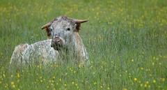 [NT] Hardwick Hall Park. Buttercups n Bovine. June 2019 (Simon W. Photography) Tags: buttercups bovine meadow spring spring2019 springtime sonyrx10iv sonyrx10m4 sonydscrx10m4 sonyuk sony cow cattle cows bostaurus bovinae ungulates bull farm farming farmanimal animal nationaltrust hardwickhall landscape landscapephotography countryside outside outdoors outdoor derby derbyshire peakdistrict peakdistrictnationalpark hardwickpark hardwickhallpark thenationaltrust nationaltrustuk ntmidlands ntchallenge nationaltrustmembers nationaltrustmember nthardwick