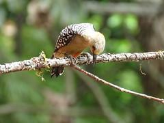 El carpintero habado es un ave muy simpática que suele anunciar su llegada a su sito con un ruidoso krrrrrr.    Trabajador incansable que ha sabido adaptarse a diferentes entornos secos y húmedos en alturas bajas o medias. (cirestrepo) Tags: carpinterohabado carpinterocoronirrojo redcrownedwoodpecker melanerpesrubricapillus ave aves avescolombia avescolombianas avesdecolores avesdelosandes avesdeantioquia avesdemedellín avecolombiana avesdeamérica avesdesuramérica pájaros pajaros pájaro birds bird colombianbirds andeanbirds birding birdwatching birdattraction birdlovers wildbirds backyardbirding birdbasics tropicalbirds birdingcolombia colombiabirding piciformes picidae carpintero pájarocarpintero woodpecker