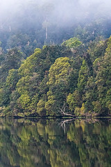 Forty Shades Of Green. (gecko47) Tags: landscape riverscape forest temperaterainforest tarkinerainforest piemanriver corinna river waterway calm reflections green trees boattrip tourism tasmania mist fog hills outdoors