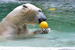polar bear (geneward2) Tags: polar bear bronx zoo mammal predator white fur ball play