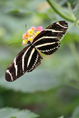 Zebra longwing butterfly (geneward2) Tags: zebra long wing butterfly insect nature bronx zoo