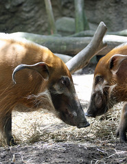Red River hogs (geneward2) Tags: red river hog pig bronx zoo mammal porcine