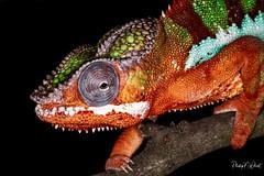 (PNWheat) Tags: lizard pantherchameleon reptile