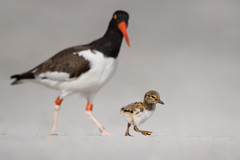Baby Steps (jgaosb) Tags: adorable baby babysitting babysteps background beach beak beautiful best bill bird birdwatching bond connection cute daughter daycare family famous farther father feather fine fun happy innocent interesting jaygao juvenile love most mother naive nature outdoor outdoors oystercatcher parent parenting popular romantic safe safety son takecareof unique watch wild wildlife women