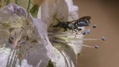 Megachilid bee on Caterpillar Phacelia (Treebeard) Tags: wildbee chelostoma osmiini megachilidae anthophila hymenoptera caterpillarphacelia phaceliacicutariavarhispida boraginaceae sanmarcospass santabarbaracounty california