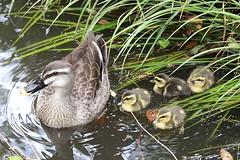 New Babies, img_2022hd (Akira Murayama) Tags: duck duckbaby duckling spotbilledduck motherduck bird birdwatching birdphoto nature wildlife sundaylights