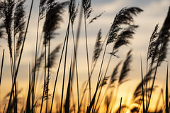 Whispers in the Wind (Kevin Tataryn) Tags: reeds plants spring sunset canada nikon d500 tamron sky 70200 evening