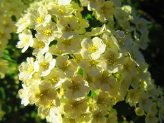 IMG_7087 6-13-2019 (PGK88) Tags: flowers white macro closeup plant spring springtime blooming blooms blossoms beautiful nature garden outdoors evening sunlight sunlit 2019