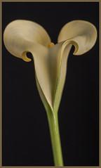 Plants #11 2019; Calla Lily-Zantredeschia (hamsiksa) Tags: plants flora ornamentals horticulture flowers blossoms blooms araceae callalilies arumlilies callas studio studioshot botanicals stilllife stilllifes abstract abstractnature