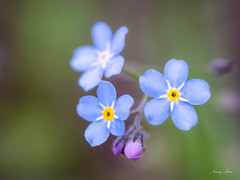 NR-20190613-ILCE-7M3-02540-Edit (Nancy Rose) Tags: forgetmenot flower garden spring