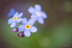 NR-20190613-ILCE-7M3-02526 (Nancy Rose) Tags: forgetmenot flower garden spring