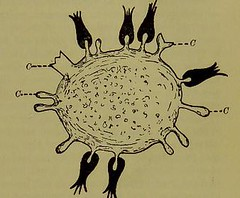 This image is taken from Cellular toxins, or, The chemical factors in the causation of disease (Medical Heritage Library, Inc.) Tags: bacterial toxins cytotoxins disease cytotoxicity immunologic cellular infections leedsuniversitylibrary ukmhl medicalheritagelibrary europeanlibraries date1903 idb21507582