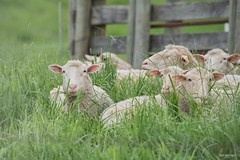 The worst thing in the world is to try to sleep and not to.        F. Scott Fitzgerald (Melinda G Pix) Tags: rural wool nature farm animal sleep sheep