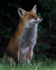 Daydreaming (ingham_laura) Tags: redfox foxes wildlife nature portraits animals nikon d500 fox wilderness