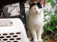 Winking Cat. (dccradio) Tags: mountairy mtairy md maryland frederickcounty cat feline kitty meow animal domesticcat pet barncat calico june summer monday mondayafternoon afternoon goodafternoon
