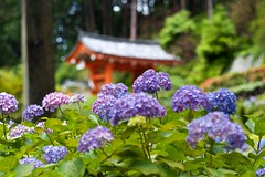 Hydrangea Temple (tez-guitar) Tags: temple kyoto hydrangea bloom blossom flower architect leica leicacl summicron green summer