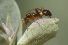 "Ant-mimic nymph of a ""true bug"" - Closterocoris amoenus (Treebeard) Tags: antmimic nymph closterocorisamoenus herdoniini mirinae miridae heteroptera hemiptera whitesage salviaapiana lamiaceae sanmarcospass santabarbaracounty california"